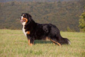 سگ کوهستانی برنس زیبا