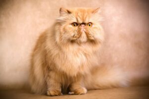 زیباترین گربه