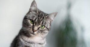 گربه امریکن شورت هیر
