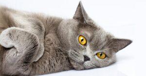 گربه بریتیش شورت هیر