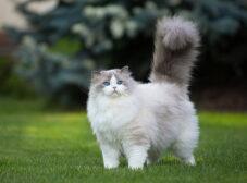 7 نژاد از بهترین نژاد گربه در ایران و ویژگی های آن ها