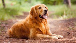 سگ گلدن رتریور قهوه ای