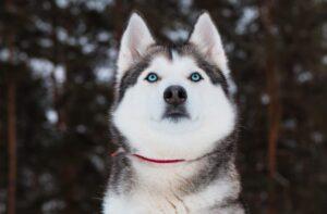سگ هاسکی با چشمان ابی
