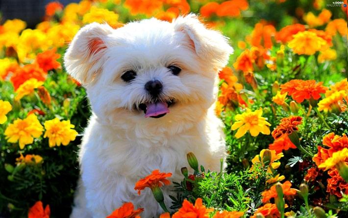 سگ مالتیز در دشت گل