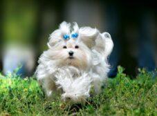 همه چیز درباره سگ مالتیز؛ سگ آرامشبخش و زیبا