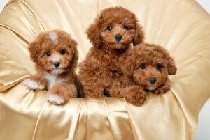 سه تا سگ پودل عروسکی