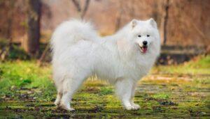 سگ ساموید سفید