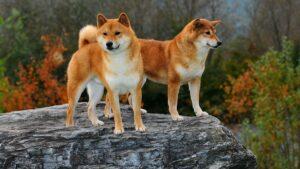 دوتا سگ شیبا اینو، سگ استیکری