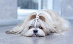 سگ شیتزو با موی ابریشمی