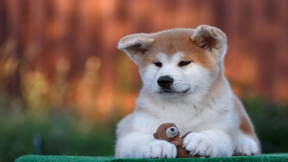 سگ آکیتا، سگی مناسب زندگی کارمندی