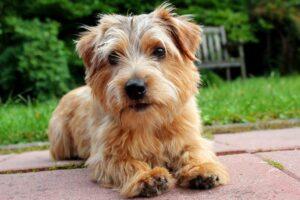 سگ نوروفولک تریر