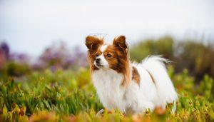 سگ پاپیون
