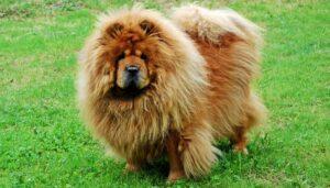سگ چاوچاو
