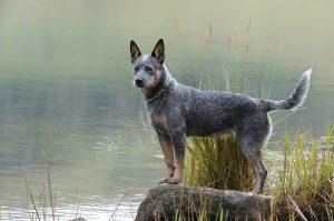 سگ-کتل-استرالیایی