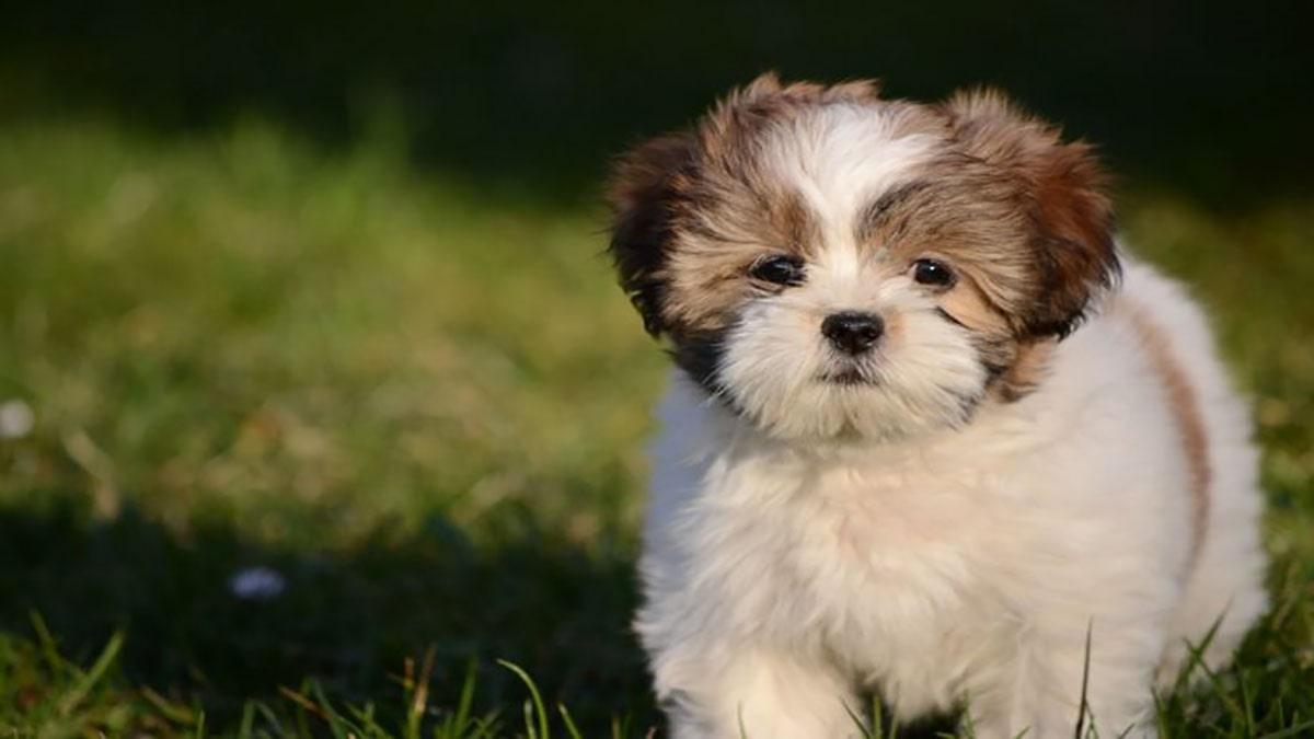 سگ لهاسا آپسو سگ مناسب آپارتمان و تحمل تنهایی بالا