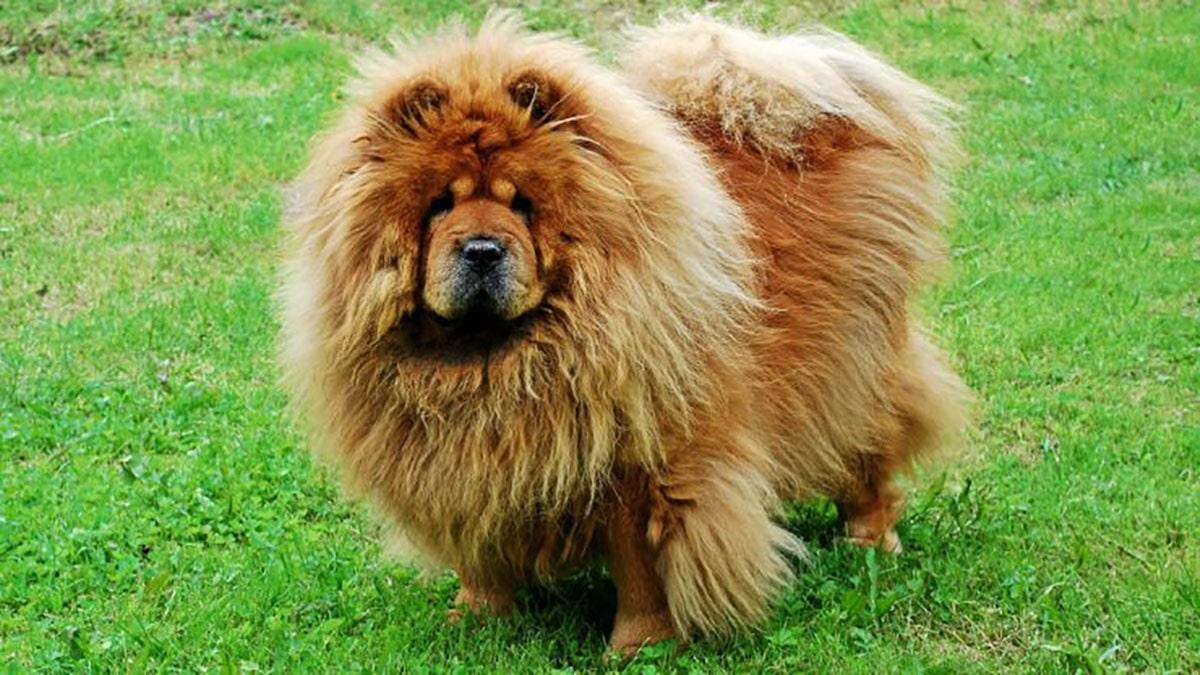 سگ چاوچاو، سگی مستقل