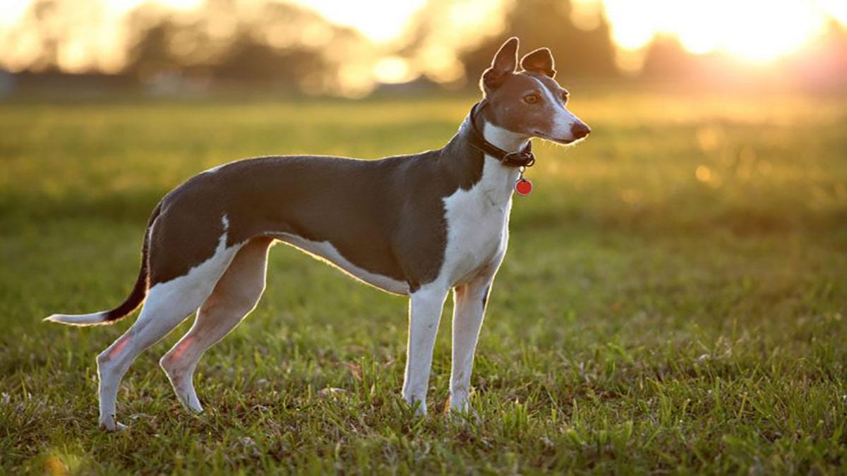 سگ گری هوند، سگ مناسب زندگی کارمندی
