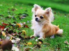 سگ شیواوا مینیاتوری،کوچکترین سگ دنیا (معرفی کامل این نژاد سگ)