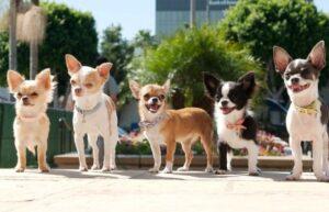 انواع سگ های شیواوا در رنگ های مختلف