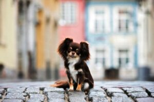 سگ شکلاتی رنگ شیواوا
