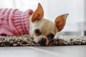 هیپوگلیسمی یا کم بودن قند خون در سگ شیواوا