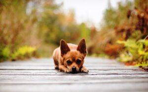 سگ شیواوا قهوهای