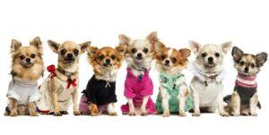 سگ شیواوا مینیاتوری با لباس های رنگی