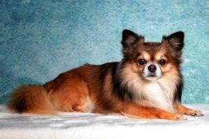 سگ شیواوا موبلند زیبا