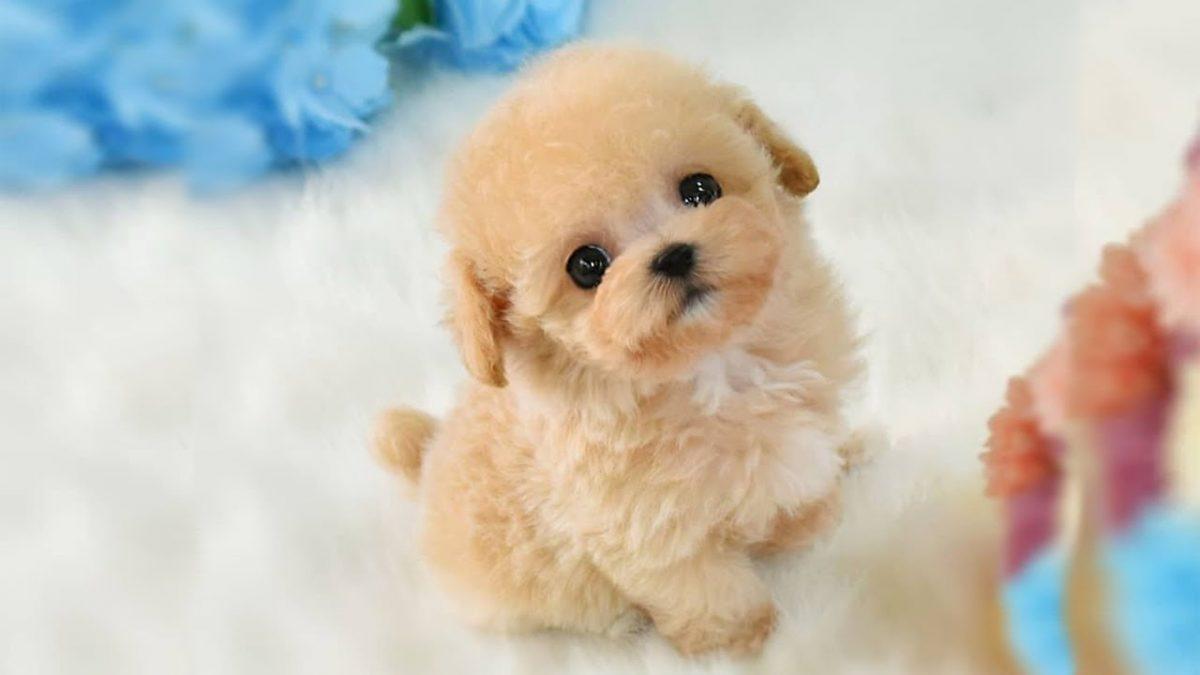 توله سگ طلایی بامزه