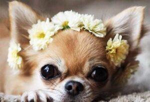 سگ مونث شی هواهوا طلایی