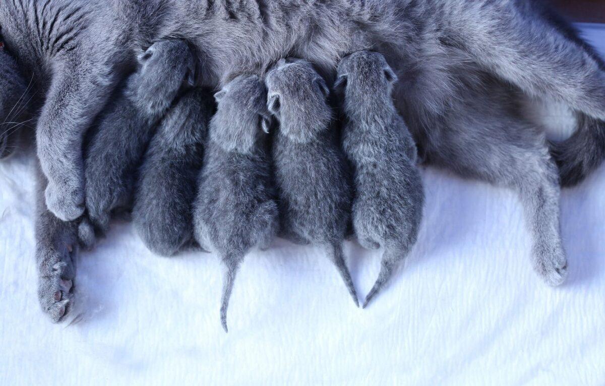 بچه گربه ها در حال شیر خوردن