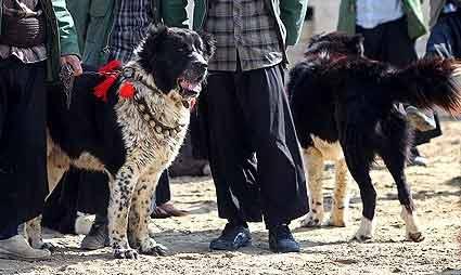 نژاد سگ قدرجونی اصفهان