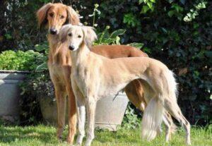 سگ تازی