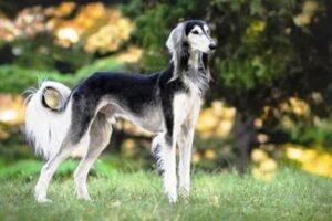 سگ تازی (سالوکی)