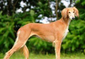 سگ تازی طلایی