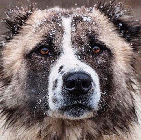 معرفی 4 نژاد سگ ایرانی و بررسی ویژگیهای آنها