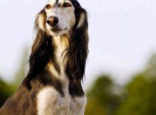 معرفی 5 نژاد سگ ایرانی و بررسی ویژگیهای آنها