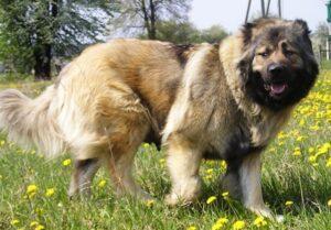 سگ قفقازی شاهسون