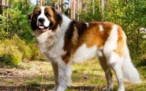 سگ سنگسر (مازندرانی)