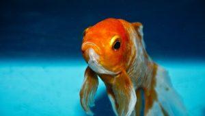 غذای ماهی گلی
