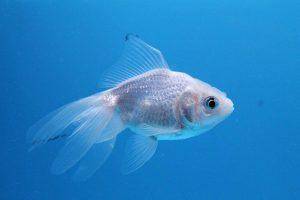 ماهی عید سفید رنگ