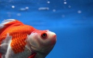 ماهی گلی بزرگ