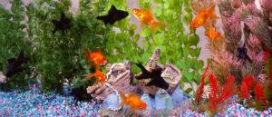 طرز نگهداری ماهی قرمز در آکواریوم