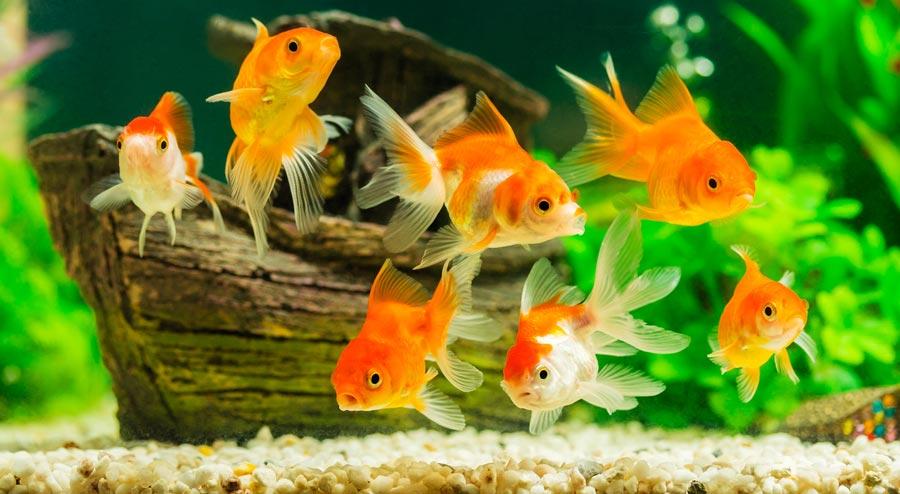 شیوه درست نگهداری از ماهی گلی یا ماهی قرمز