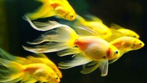 بیماری سفیدک در ماهی قرمز