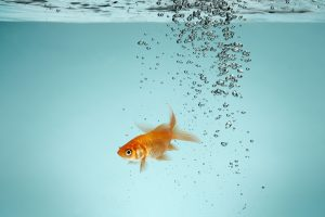 ماهی گلی