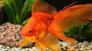 ماهی گلی زیبا