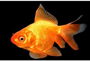 ماهی قرمز در حال شنا