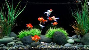 انواع ماهی های قرمز داخل اکواریوم
