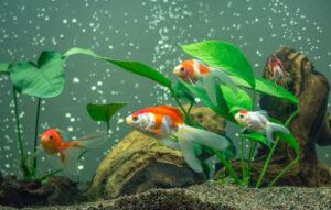 اکواریوم و ماهی گلی